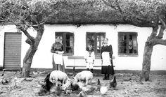 Grisar och höns vid en gård i södra Sverige, Skåne Landsarkivet i Lund