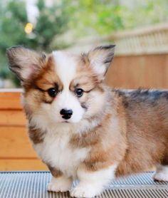 Pembroke Welsh Corgi - Alert and Affectionate Cute Corgi Puppy, Corgi Dog, Mini Corgi, Animals And Pets, Funny Animals, Cute Dogs And Puppies, Doggies, Fluffy Corgi Puppies, Fluffy Dogs
