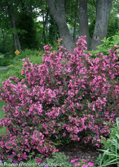 Wine and Roses® Weigela | Plant Addicts