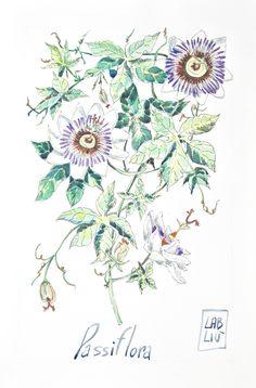 Passiflora, illustrazione acquerello, tavola botanica #acquerello #etsy #illustrazione #botanica #passiflora #illustration #watercolor #passionflower #flowers #botany