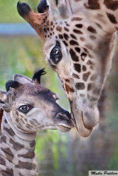 Mutlu Patilerr: Zürafalar / Giraffes