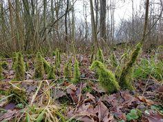 Vanmiddag even een boswandeling gemaakt in het Tenboersterbos. Hier zag ik deze grappige pluimpjes van mos omhoog reizen. Best grappig en kleurrijk zo.