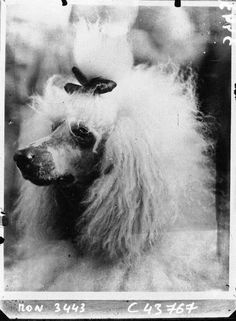 Via Gallica, Public domain: Scan of 2 d images in the public domain believed be free to use without restriction in the U. Rescue Dogs, Pet Dogs, Dog Cat, Doggies, French Poodles, Standard Poodles, Stupid Animals, Vintage Dog, Vintage Paris