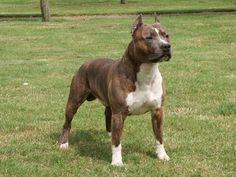 Amstaff Type - Redboys Amstaffs - Breeders of Working American Staffordshire Terriers