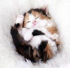 Sleeping calico kitten