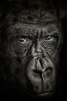 Gorilla (I almost this in 'Portraits' it's so soulful.) <3