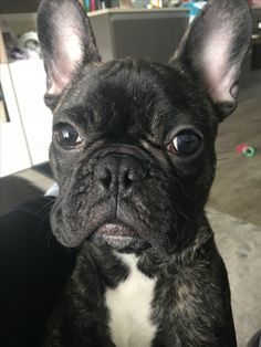 French Bulldog Mr.Robert - frenchie love