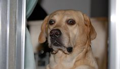 Funny Labrador Face Labrador Funny Labrador Labrador Facts