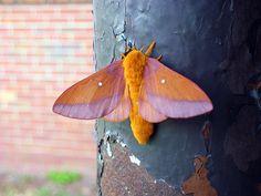 Anisota virginiensis pellucida (Southern Pink-striped Oakworm Moth)