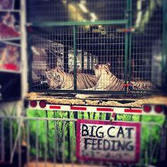 Big Cat show 2012