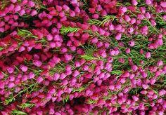Boronia heterophylla , Boronia, boronia à feuillage varié, red boronia