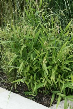 for area in the woods ? Northern Sea Oat Grass prefers part shade Lake Landscaping, Natural Landscaping, Partial Shade Plants, Shade Grass, Spring Landscape, Plant Sale, Ornamental Grasses, Trees And Shrubs, Shade Garden