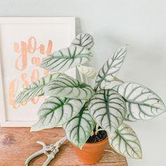 Inside Plants, Fake Plants, Exotic Plants, Cool Plants, Planta Alocasia, Alocasia Plant, House Plants Decor, Plant Decor, Elephant Ear Plant