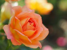 https://flic.kr/p/z4JiFy | Rose, Lady of Shalott, バラ, レディ オブ シャーロット, | Rose, Lady of Shalott, バラ, レディ オブ シャーロット, Shrub rose シュラブ United Kingdom イギリス Austin 2010