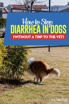 If your dog is suffering with a bout of loose stool, learning a few methods of how to stop diarrhea in dogs by yourself can save you a trip to the vet. Dog Diarrhea Remedy, Dog Has Diarrhea, Stop Diarrhea, What To Feed Dogs, Dog Training Courses, Dog Health Care, Health Tips, Dog Training Techniques, Sick Dog
