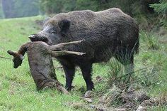 Good grief, boar are insane creatures.