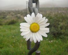 iron daisy!