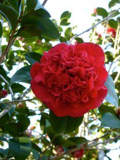 Camellia japonica 'Professor Sargent' (U.S., 1908)