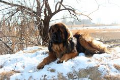 Oakridge Kennel and Homestead Search And Rescue Dogs, Giant Schnauzer, Therapy Dogs, Hunting Dogs, Family Dogs, Puppies For Sale, Poodle, Homesteading, Ship
