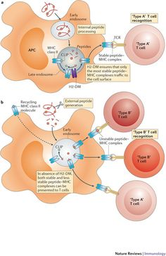 Unconventional recognition of peptides by T cells and the implications for autoimmunity (Credit: James F. Moha Nat rev Immuno) #NPG Nature Publishing Group