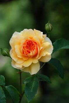 'Port Sunlight' | Shrub. English Rose Collection. David C. H. Austin, 2007 | Flickr - © azucargeminis