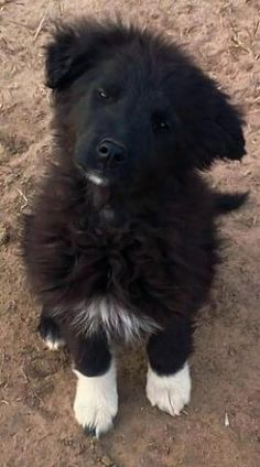 Hope - courtesy is an adoptable Australian Shepherd Dog in Plymouth, IN Meet sweet Hope. Hope, like her sister Daisy, loves people but is a little apprehensive of the  ... ...Read more about me on @Petfinder.com.com.com.com