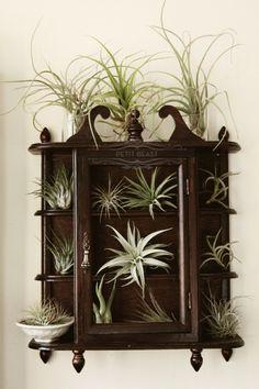 /\ /\ . A living curiosity cabinet of Tillandsia plants