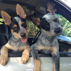 I met this little princess of the Cattle Dogs yesterday and was not surprised at all today to see that she got adopted if her… Cute Funny Animals, Cute Baby Animals, Animals And Pets, Blue Heelers, Cute Puppies, Cute Dogs, Dogs And Puppies, Doggies, Cute Animal Pictures