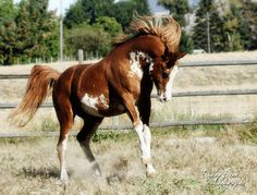 FV Aulfarwa by Aulrab x FV Painted Lady, chestnut sabino Arabian stallion