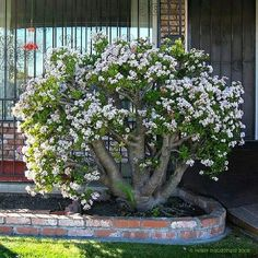 Jade tree planted outside