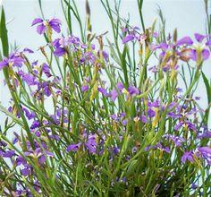 dampiera trigona - Angel stemmed dampiera. Flowers late winter to summer.  Well drained soil. Full sun or light shade