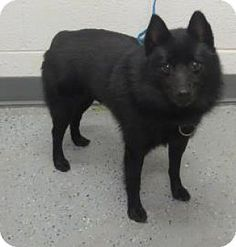 URGENT!!! Saint a Schipperke Mix for adoption in Decatur, GA who needs a loving home.