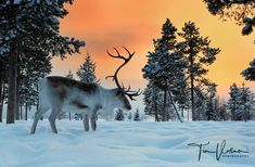 Reindeer at sunrise in Lapland Sweden - Photo tours and workshops - www.timvollmer.de
