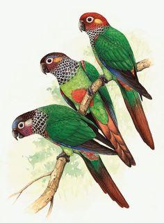 Illustration de perroquets