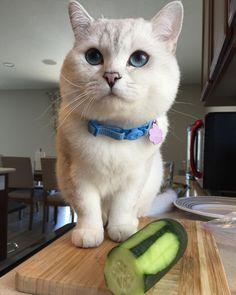 Let me help you cook !  by @white_coffee_cat... Follow us on Instagram :D #cats #cat #catlover #lovecats #funny #fun #cute #socute #feline #felines #felinefriend #fur #furry #paw #paws #kitten #kitty #kittens #kittycat #kittylove #fluffy #fluff