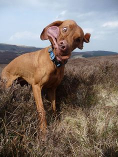 hunting dog.  Another great dog face.