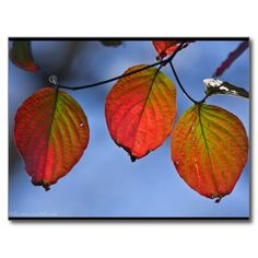 Colorful Illuminated Autumn Leaves Trio #Postcard #AutumnLeaves #HikeOurPlanet #Nature #Photography