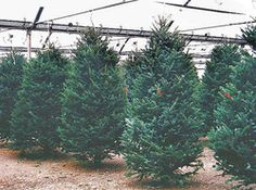Come pick your Christmas Tree...a fun family tradition!