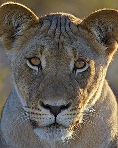 Pin On Art Wildlife Wild Cats