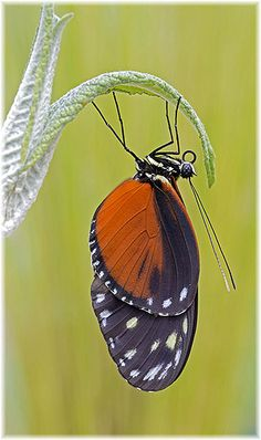 Doris (Laparus doris), or (Heliconius doris) Madame Butterfly, Butterfly Kisses, Butterfly Wings, Butterfly Template, Butterfly Dragon, Monarch Butterfly, Types Of Butterflies, Butterflies Flying, Beautiful Bugs