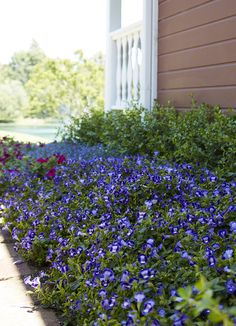 A flower bed filled with Catalina Midnight Blue Torenia will delight for months...