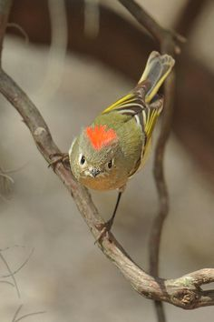 Awesome picture of a Ruby-crowned Kinglet  Just saw one of these in the black hills