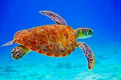 Stunning Pictures Of Sea Turtles can find Turtles and more on our website.Stunning Pictures Of Sea Turtles Beautiful Sea Creatures, Animals Beautiful, Cute Animals, Sea Turtle Pictures, Turtle Love, Ocean Creatures, Mundo Animal, Sea World, Ocean Life