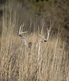 Whitetail Deer: Don't Overlook Bucks in the Grass -- Field & Stream by Gerald Almy