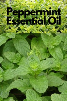 There are several different varieties of mint: peppermint and spearmint are the two that are used in aromatherapy. Peppermint Oil Benefits, Peppermint Plants, Peppermint Tea, Herbal Remedies, Natural Remedies, Making Essential Oils, Herbs For Health, Medicinal Plants, Alternative Medicine