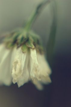 Dreamy Floral Photograph- blue grey,  white flower , fine art photograph, lensbaby 8x10 print , unique home decor. $28.00, via Etsy. #lensbaby #seeinanewway
