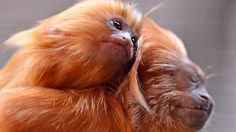 A little Golden Lion Tamarin sits on his father at the zoo in Duisburg, Germany, Thursday, May 3, 2012. Two tlittle lion apes were born only six weeks ago. (AP / Martin Meissner)