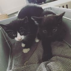 Say hello to #schoolfarm #kittens Percy (b/w) and Arthur (b)