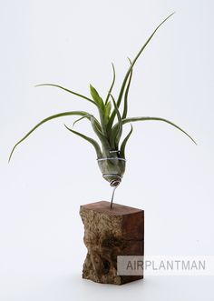 AirplantVessel by Airplantman Designs with tillandsia caput medusae  www.airplantman.com  collaboration with HawkandStone