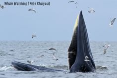 Bryde's whale feed on a wide variety of fish, planktonic crustaceans, and cephalopods.